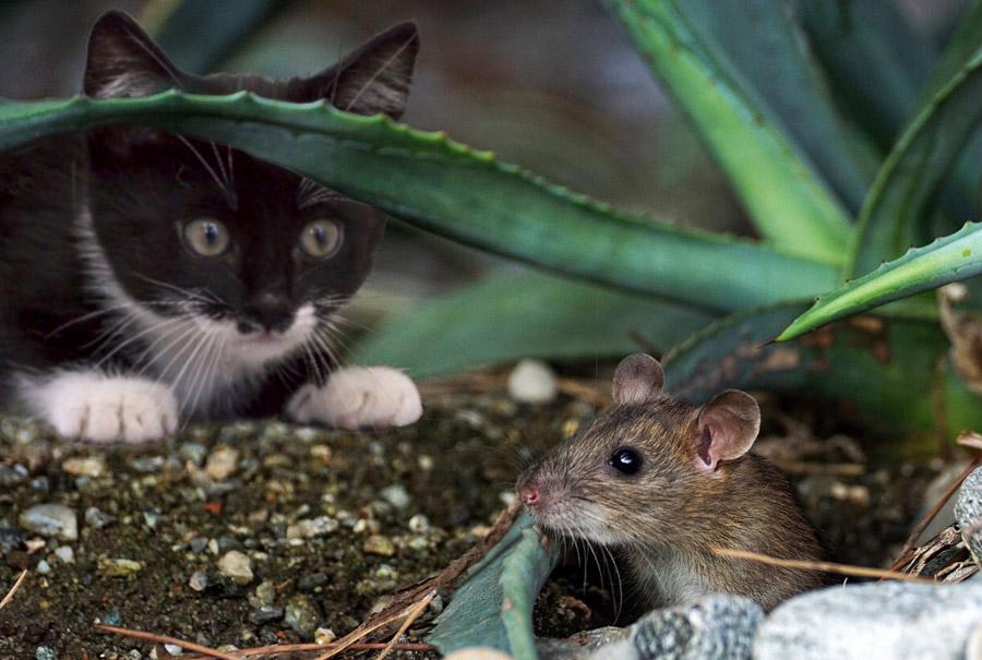 家ネズミ「ドブネズミ」「クマネズミ」「ハツカネズミ」の種類と特徴