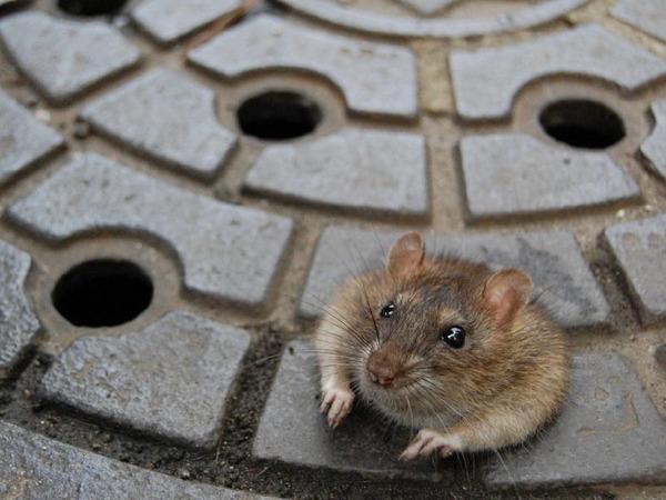 ネズミの侵入口(ねずみの穴)を塞ぐ