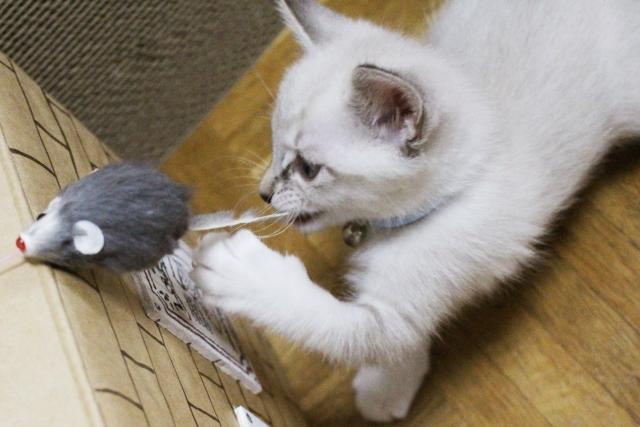現代の猫はネズミを捕るか