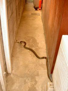 ネズミの天敵 蛇