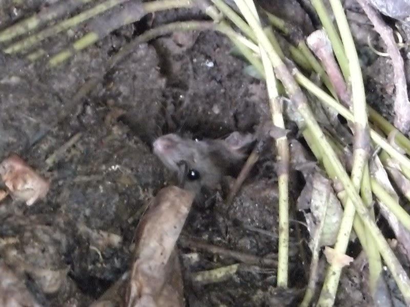 コンポスト内に出没するネズミ