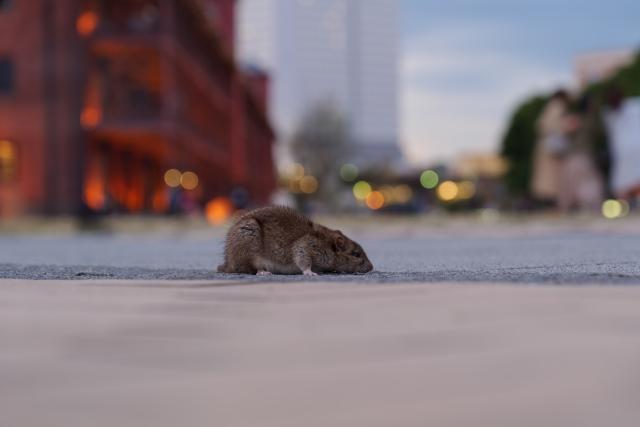 ネズミがもたらす感染症:腎症候性出血熱