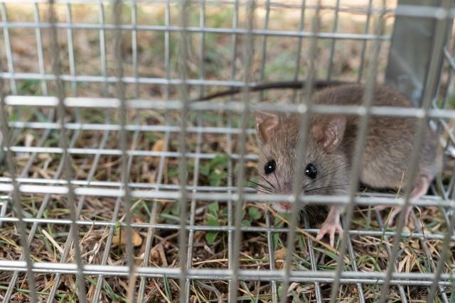 罠や殺鼠剤を用いたネズミ駆除の方法