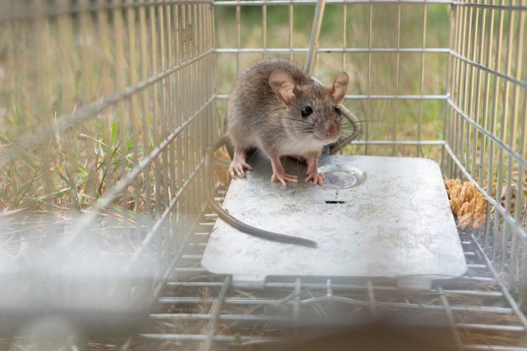 新型コロナの影響でネズミの大移動が始まった?
