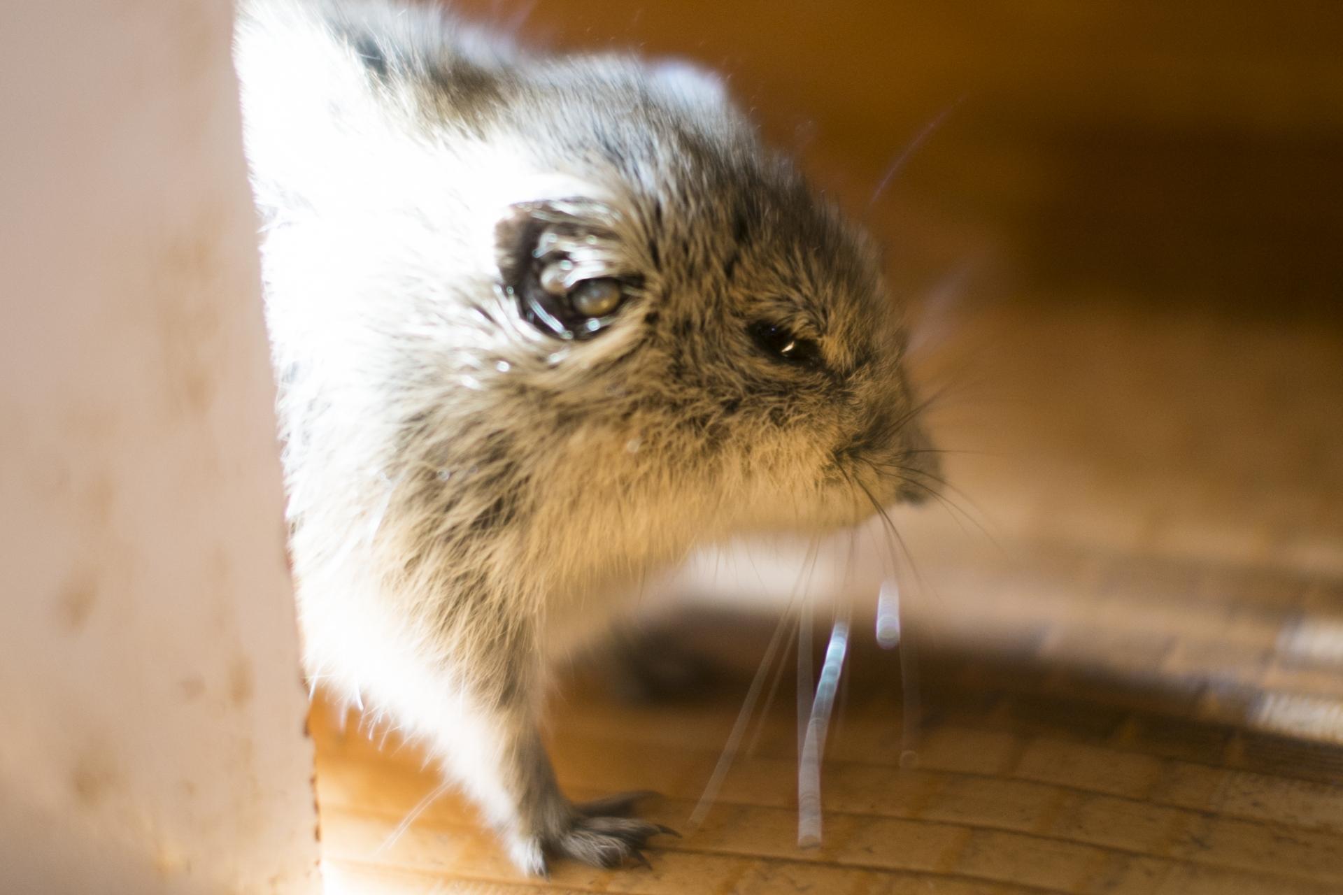 ネズミの習性・行動パターン