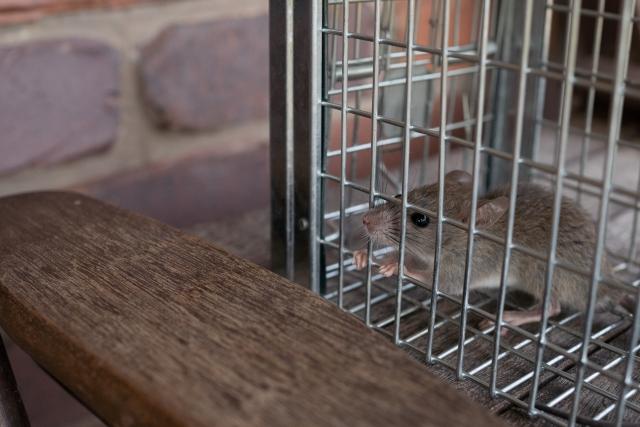 お家や周辺にネズミやハクビシンなど、野生動物がいればノミを持っていることが考えられます。