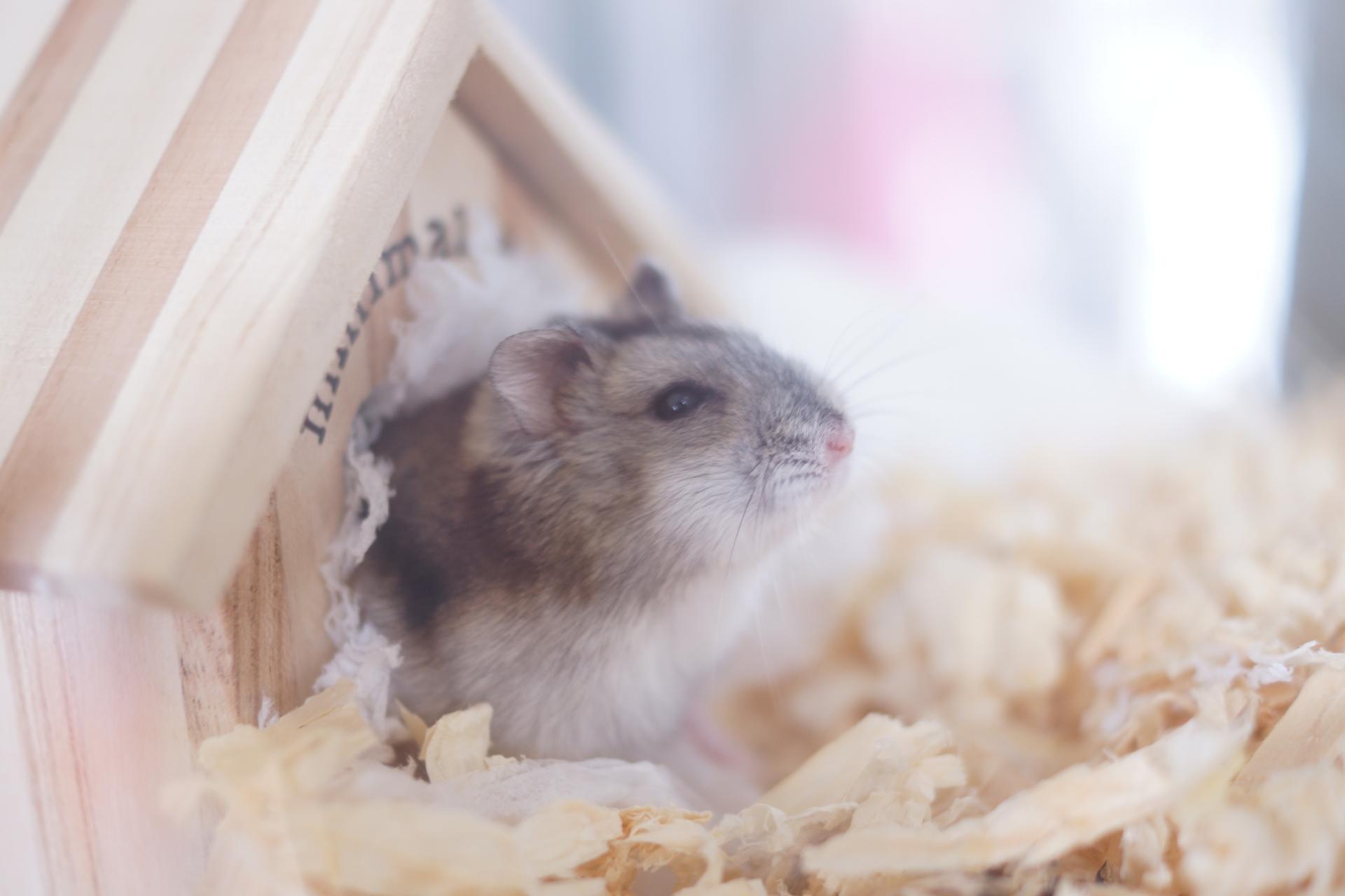 家の中でネズミが巣作りする場所はどこか?